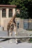 在Bioparco的幼小长颈鹿 库存图片