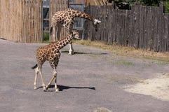 在Bioparco的幼小长颈鹿 免版税库存图片