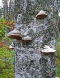 在birchtree的蘑菇堆,环境细节, 图库摄影