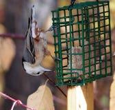 在Birdfeeder的白色Breasted五子雀 免版税库存照片