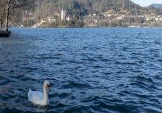 在Bled湖的天鹅  免版税库存图片