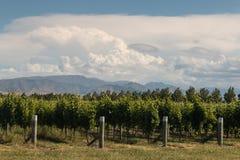 在Blenheim附近的葡萄园 库存图片