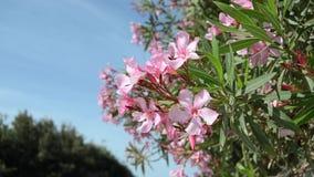 在blosom、美丽的桃红色花和天空蔚蓝的Oliander 股票录像
