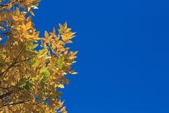 在bluesky背景的黄色秋叶 库存照片