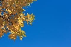 在bluesky背景的黄色秋叶 免版税库存图片