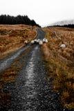 在Bluestack山的爱尔兰绵羊在Donegal爱尔兰 免版税库存照片