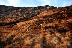 在Bluestack山的爱尔兰绵羊在Donegal爱尔兰 库存图片