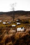 在Bluestack山的绵羊在Donegal爱尔兰 图库摄影