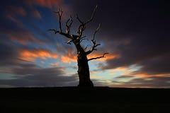 在blured红色云彩的老树 库存照片