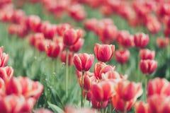 在blured背景的红色郁金香在葡萄酒定调子 免版税库存图片