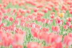 在blured背景的红色郁金香在葡萄酒定调子 图库摄影