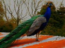 在bodmin动物园的美丽的孔雀 库存图片