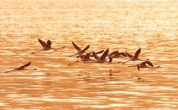 在Bogoria湖,肯尼亚附近的火鸟 免版税库存图片