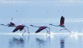 在Bogoria湖,肯尼亚附近的火鸟 免版税图库摄影