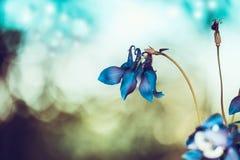 在bokeh背景的典雅的蓝色花 库存图片