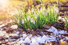 在bokeh背景的美好的snowdrops在光束下的晴朗的春天森林里 复活节图片,第一朵春天花 免版税图库摄影