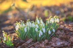 在bokeh背景的美好的snowdrops在光束下的晴朗的春天森林里 复活节图片,第一朵春天花 库存照片