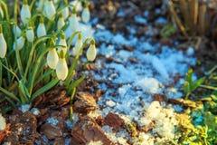 在bokeh背景的美好的snowdrops在光束下的晴朗的春天森林里 复活节图片,第一朵春天花 免版税库存图片