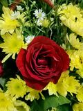 在boque的一朵红色玫瑰 库存图片