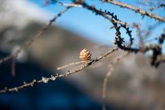在brach Larix Decidua的欧洲落叶松锥体 免版税图库摄影
