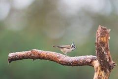 在branche的有顶饰山雀 图库摄影