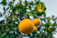 在branchlet的两个葡萄柚 免版税库存图片