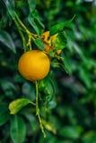 在branchlet的两个葡萄柚 库存图片