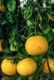 在branchlets的葡萄柚 库存图片