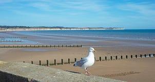 在Bridlington的海鸥 库存照片