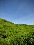 在Brinchang山马来西亚附近的茶园 免版税库存照片