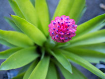 在Bromeliad花桃红色的蓝色  图库摄影