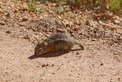 在Bryce峡谷的灰鼠 图库摄影