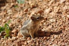 在Bryce峡谷的灰鼠 免版税库存照片
