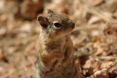 在Bryce峡谷的灰鼠 免版税图库摄影