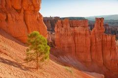 在Bryce峡谷边缘的结构树 库存图片