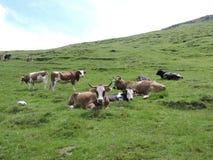 在Bucegi山的母牛 库存照片
