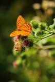 在bur花的蝴蝶 库存照片