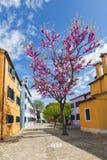 在Burano海岛上的明亮的五颜六色的房子在威尼斯式盐水湖边缘的有一棵开花的杏树的 威尼斯, 图库摄影