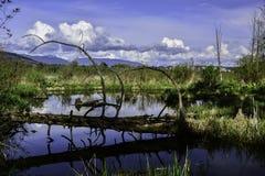 在Burnaby湖的死的树 库存照片
