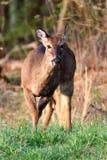 在Cades小海湾的鹿 库存图片