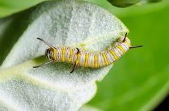 在Calotropis的毛虫 库存照片