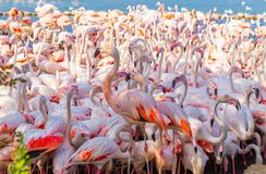 在Camargue的桃红色火鸟 库存图片