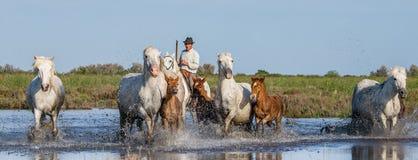 在Camargue马的车手通过沼泽疾驰 免版税库存图片