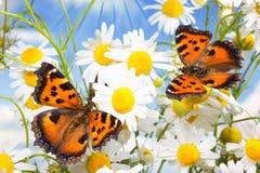 在camomiles的二只蝴蝶 免版税库存图片