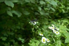 在camomiles的甲虫 库存照片