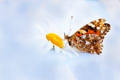 在camomiles的Butterflie 免版税图库摄影