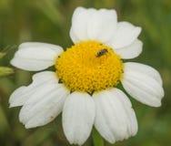 在Camomilla花的微小的象鼻虫 免版税库存照片