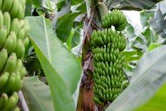 在Canarian海岛上的香蕉树 库存照片