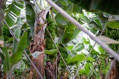 在Canarian海岛上的香蕉树 免版税库存照片