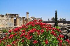 在Capernaum古老废墟的前景的红开花的灌木  免版税库存照片